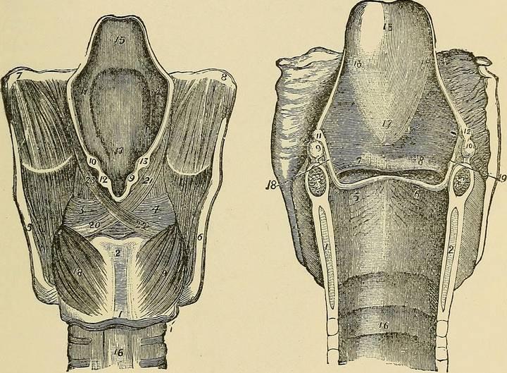 Щитовидная железа для чайников
